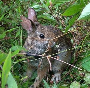 Native shrubland habitat is home to many species, including Maine's only native rabbit: the state endangered New England cottontail.