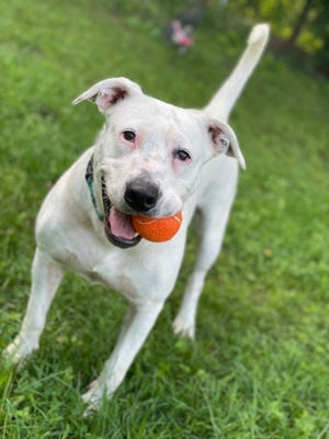 Magnolia is a 3-year-old terrier, American Staffordshire mix looking for a loving home.