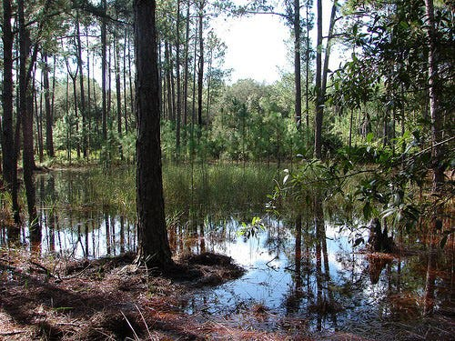 The Green Swamp in Brunswick County, N.C., is managed by The Nature Conservancy, the last tract of the sprawling longleaf pine savannas that once covered Southeastern North Carolina.