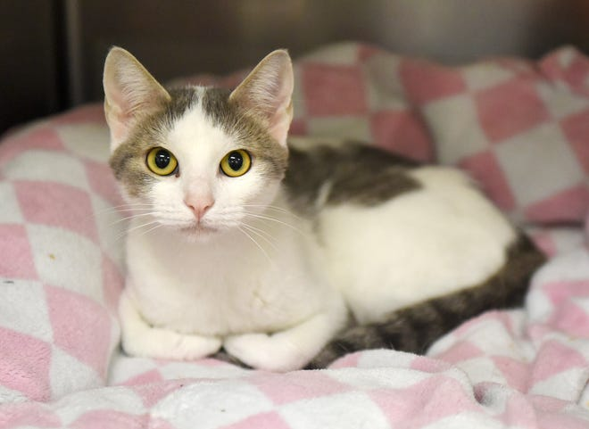 Crystal Gayle is a 3-year-old Domestic short hair. She is very calm and loves to be on her own. Wanna meet Crystal Gayle? Call the Gulf Coast Humane Society at 361-225-0845 or visit https://www.gchscc.org