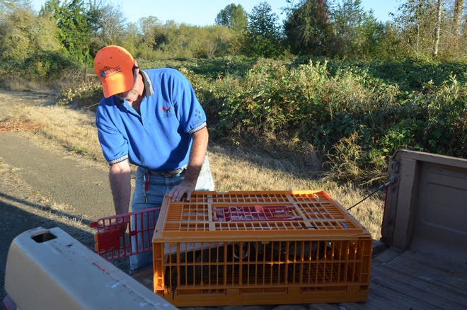 Rooster pheasants are released throughout the fee-hunt season at several state wildlife areas, including E.E. Wilson north of Corvallis.