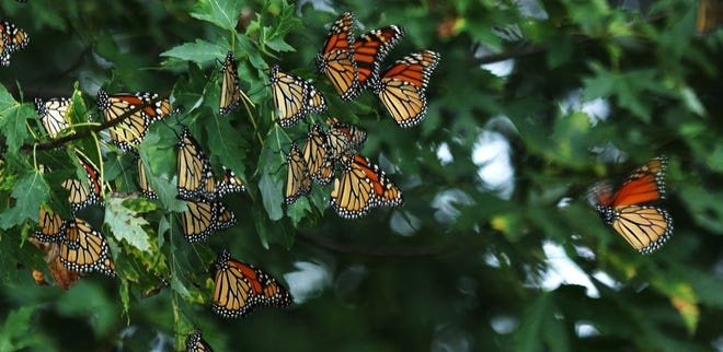 Roughly 40 percent of all monarch butterflies that overwinter in Mexico are estimated to come from Iowa and neighboring Midwestern states.