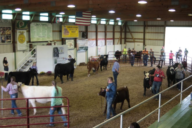 Judge Gary Staley watches as participants in the overall for beef breeding walk their cattle around the arena.