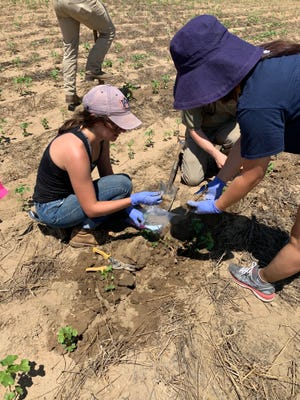 Hayley Crowell, Anna Yang and others carefully collect cotton root samples to analyze arbuscular mycorrhizal fungi colonization rates.