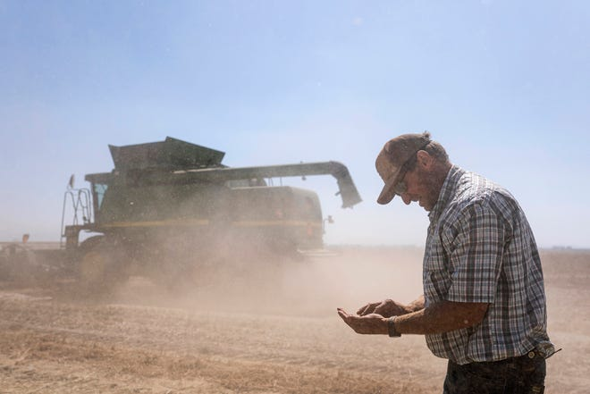 Phil Fine checks for carrot seeds in the soil left behind by a combine while harvesting a field in the North Unit Irrigation District on Tuesday, Aug. 31, 2021, near Madras, Ore.