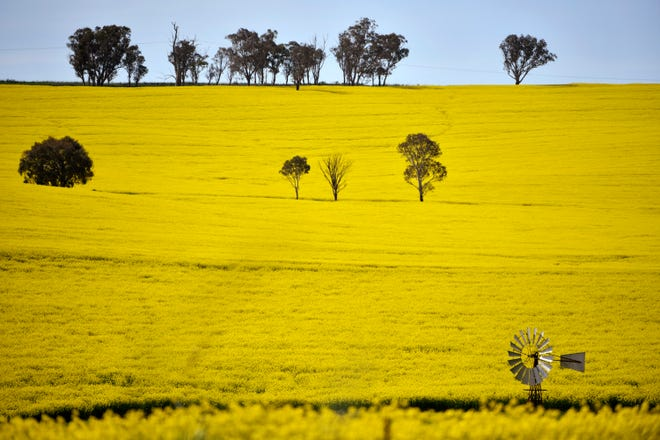 A windmill pokes above a canola crop near Harden 217 miles southwest of Sydney. Australia is forecast to reap record revenue from farming this year despite pandemic challenges, a mouse plague and a trade dispute with China.