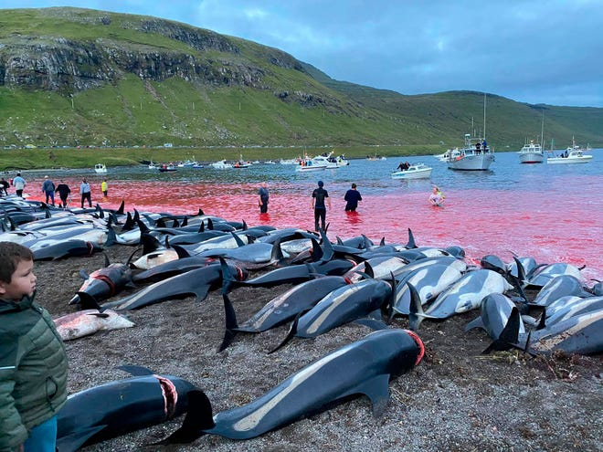 In this image released by Sea Shepherd Conservation Society the carcasses of dead white-sided dolphins lay on a beach after being pulled from the blood-stained water on the island of Eysturoy which is part of the Faeroe Islands Sunday Sept. 12, 2021.