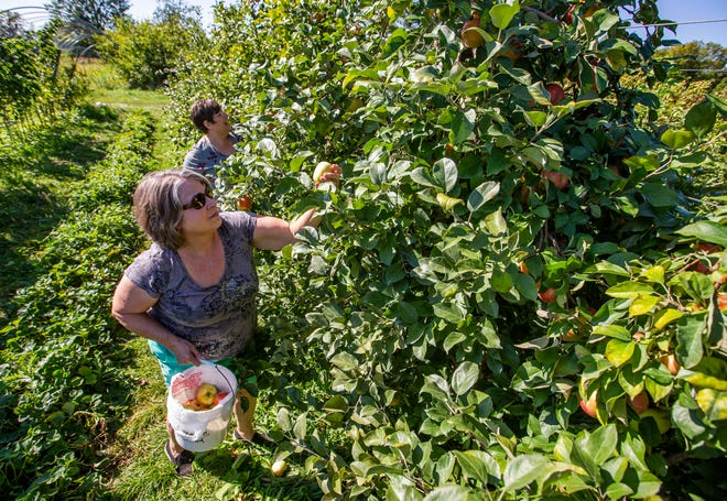 Sisters Jacci Mario, front, and Sally Rigney pick apples at Lehman's Orchards in Niles. Propelled by nice weather and autumn, U-pick operators are expecting brisk business.