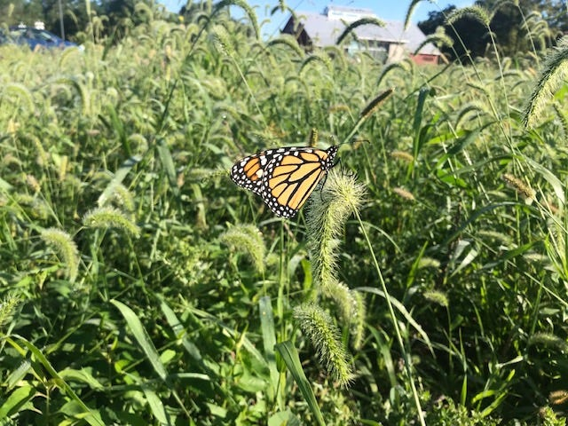 A lone monarch butterfly landed in a field at the Sandusky County Park District's Creek Bend Farm Thursday. The annual migration of monarch butterflies through Northwest Ohio generally lasts through October. Monarch butterflies from this area travel more than 2,500 miles to winter in Mexico, where they hibernate in fir trees.