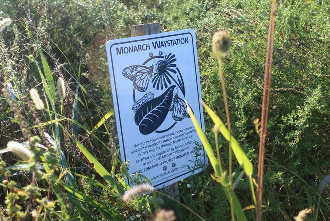 No hubo mariposas rey el jueves en la Ruta del Rey del Santuario Nacional de Vida Silvestre de Ottawa.  Cuando el clima y las condiciones del viento son muy favorables, debería haber más mariposas en la ruta en los próximos días y semanas, dijo un funcionario del refugio.