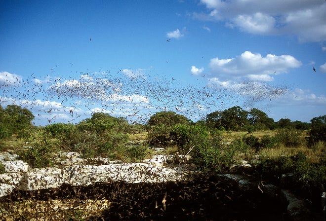 Bats swarm at Devil's Sinkhole State Natural Area. It's quite the show in the Hill Country.