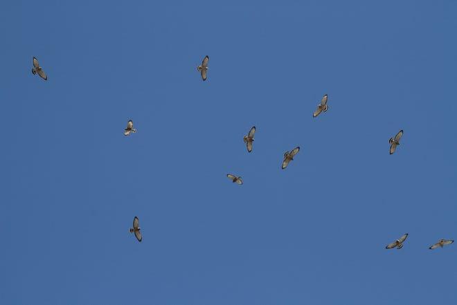 Kettle of broad-winged hawks