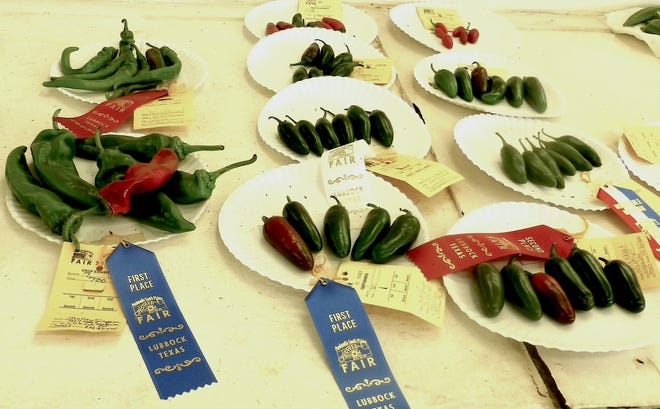 Peppers entered in competition at the 2020 South Plains Fair. Anaheim peppers are exhibited in the class on the left and the jalapeño pepper class on the right.