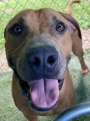 Name: Mountain Dew  Gender: Male  Age: 1 year old  Weight: 64 pounds  Species: Dog  Breed: Rhodesian Ridgeback/Labrador Retriever - Tan  Orphaned Since: August 2021  Adoption Fee: $100     Hi there, I'm Mountain Dew, but you can call me Dew for short. I'm a bubbly guy who loves playing with other dogs, snacking on treats, and cuddling with you. I'm young with loads of energy, which will be a bit much for kids 5 and under. But a home with older kids and other doggie friends to play with would be great for me. I do need some basic training. If you're OK with that, contact SPCA Florida and let's do the Dew!