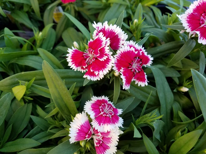 Dianthus is among the flowers that can be planted this time of year.