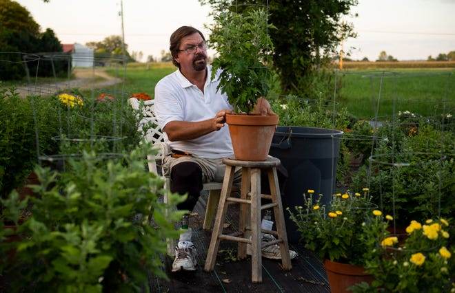 """Ted Kroeger observes a potted chrysanthemum plant at his business, Kroeger Greenhouse and Gardens, in Newburgh, Ind., Thursday evening, Sept. 16, 2021. """"I can do anything but walk up a ladder,"""" Kroeger said."""