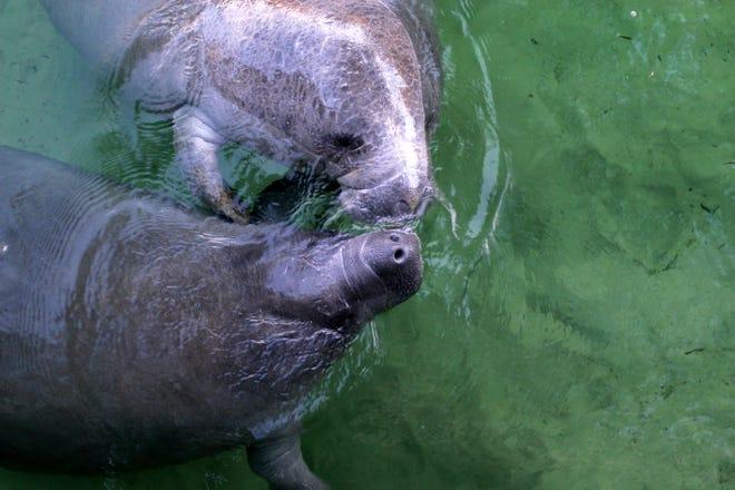 Affectionate manatees at Wakulla Springs.