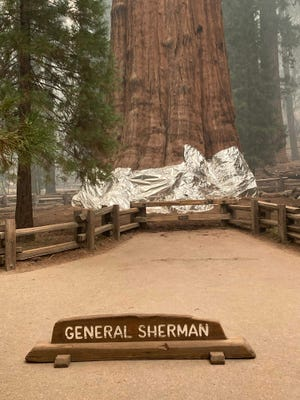 In this picture released by the National Park Service on September 16, 2021, firefighters wrap the historic General Sherman Tree, estimated to be around 2,300 to 2,700 years old, with fire-proof blankets in Sequoia National Park, California. - The world's biggest trees were being wrapped in fire-proof blankets Thursday in an effort to protect them from huge blazes tearing through the drought-stricken western United States.