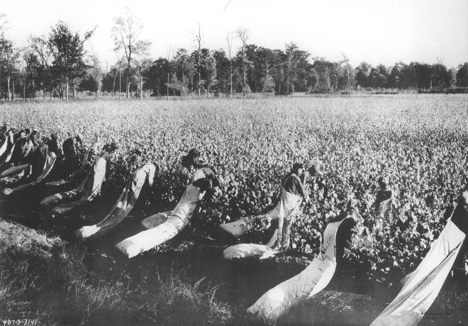 Cotton field workers use long bags for cotton in the southwest valley.