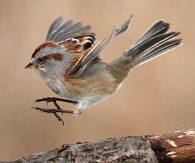 An English sparrow.