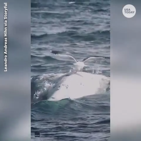 Seagull surfs on the back of a whale in Patagonia