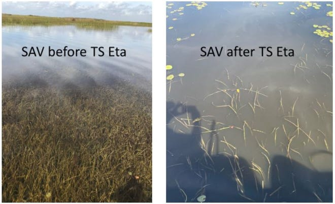 Lake Okeechobee lost an estimated 12,000 acres of submerged aquatic vegetation as Lake Okeechobee rose after Tropical Storm Eta.