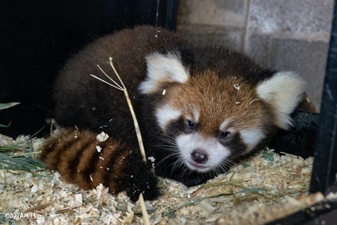 """The Cincinnati Zoo & Botanical Garden has announced it has named the newest baby red panda Shenmi, which is Chinese for """"mystery."""" Shenmi was born July 16."""
