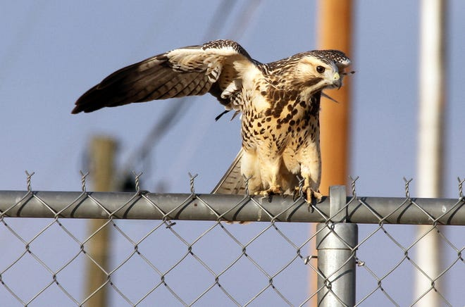 """This bird of prey happened to roost on a fence line at the Southwestern New Mexico State Fairgrounds at 4100 Raymond Reed Blvd. The bird was perched at the front gate for some time on Wednesday of last week and took in a bird's-eye view of the fairgrounds layout perhaps in anticipation of the upcoming Luna County Fair. It eventually took flight but not before circling the grounds a couple of times. The SWNMS Fair is slated for the week of Oct. 6-10. This will be the 75th anniversary and the theme is """"Barn in the USA."""""""