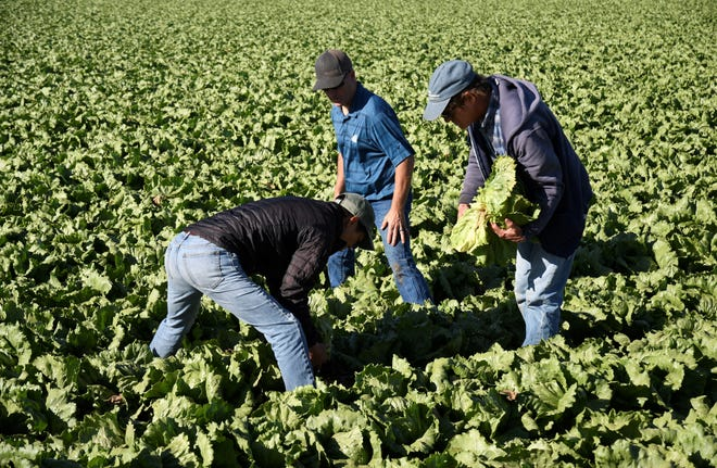 Agriculture researchers dig up lettuce heads affected by pythium wilt and INSV disease.