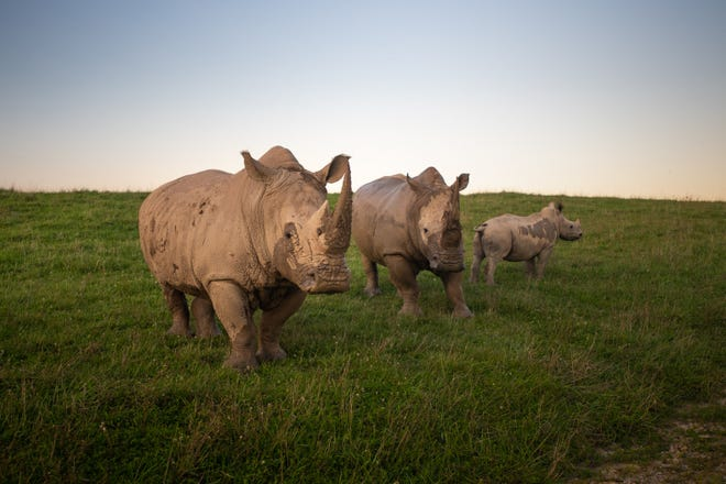 Southern White Rhinos at The Wilds