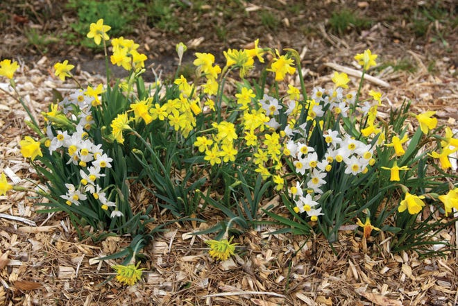 Mini daffodils are popular as accents in small garden spaces.