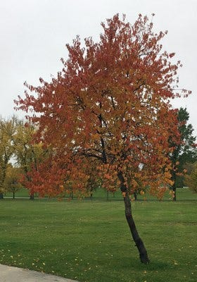 Pin cherry, a tree that's native to North Dakota, showing off its fall colors in a Grand Forks park.