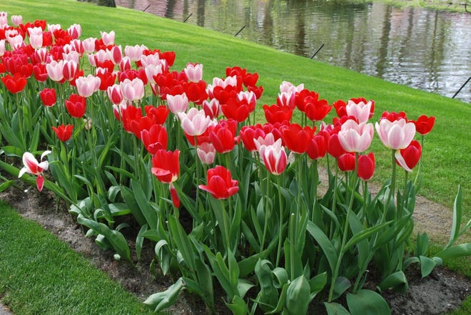 Pink and red tulips create a dramatic display.