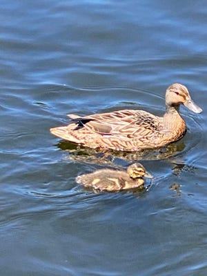 This duckling is swimming along with a parent on the Charles River.