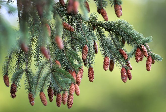 Tiny pine cones hang from a tree Wednesday on the third hole at the Sanctuary Golf Club.