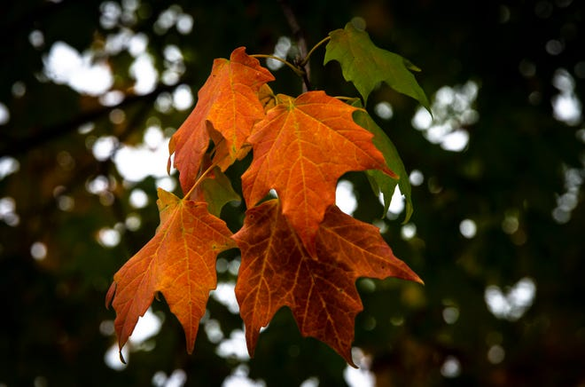 The leaves of a sugar maple along Williams Boulevard give way to their fall colors Monday as the first sign that autumn will soon arrive in Springfield. [Justin L. Fowler/The State Journal-Register]