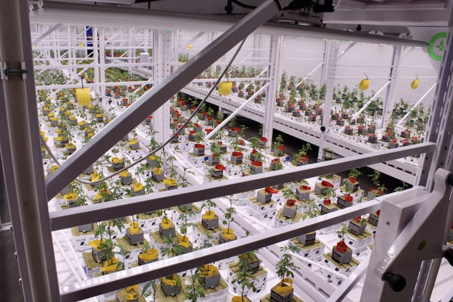 River Valley Relief Cultivation will grow 2,500 plants in each of their growing rooms.