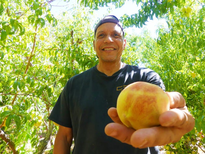 Orchard caretaker Richard Robnett Jr. tends to the McDonald Peach Orchard on Seneca Road near the Mojave River in Apple Valley.