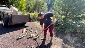 Marie Heuberger, an Oregon State University student and Salmon Trout Enhancement Program (STEP) volunteer, gets ready to pick up a Chinook salmon carcass to fork into the North Santiam River.