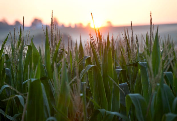 Machine learning can pinpoint genes of importance that help crops grow with less fertilizer, according to a new study published inNature Communications.