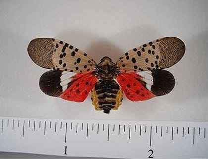 The lanternfly is an invasive species from China that wreaks havoc on agriculture. They aren't physically harmful to humans, but they threaten everything from oak, walnut and poplar trees to grapes, almonds and fruit orchards.