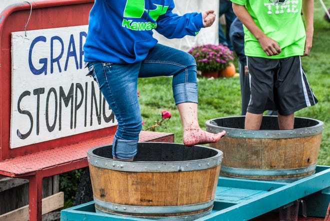 Grape stomping is a fun feature of the annual Harvest Festival at Hunt Country.
