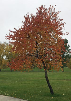 Pin cherry, a tree that's native to North Dakota, shows off its fall colors in a Grand Forks park.