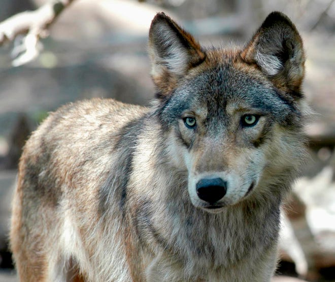 A gray wolf stands at the Wildlife Science Center in Forest Lake, Minn.