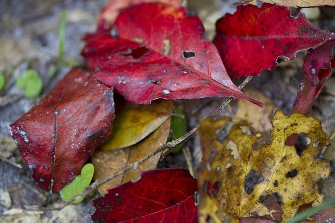 Fallen leaves can make a great mulch for plant beds.