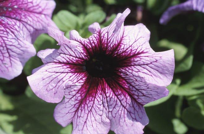 Winter annuals like petunia will be on nursery racks in October.