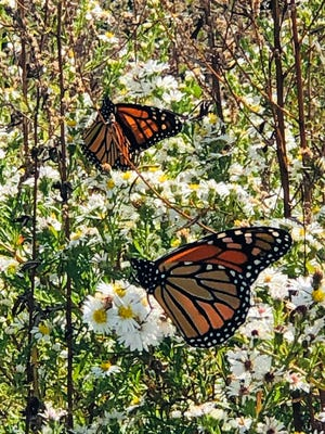 These butterflies are among the many feeding on Spectacle Island on their way south.