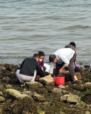 These people are collecting shell fish during low tide at Castle Island.