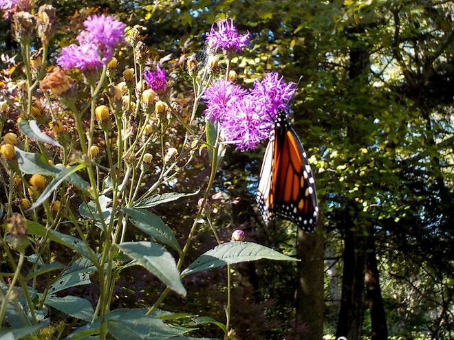 A monarch butterfly feeds on New York ironweed.