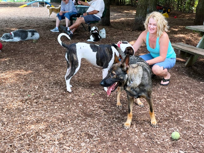 An American bulldog and a German shepherd are shown at a visit to a dog park.